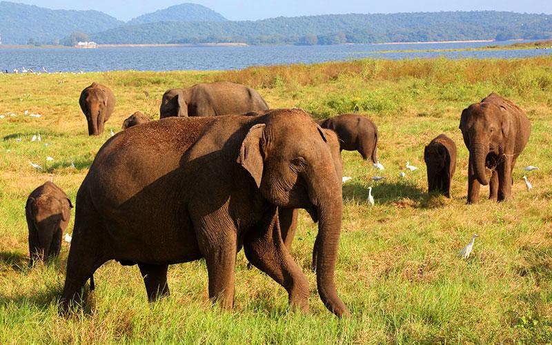 Minneriya National park | elephant safari in Minneriya National park