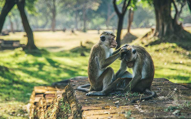 Monkey Kingdom with a researcher. guided tour in Polonnaruwa. Things to do in Polonnaruwa.