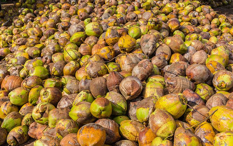 Tour a coconut farm in the east | Sri Lanka coconut Farm
