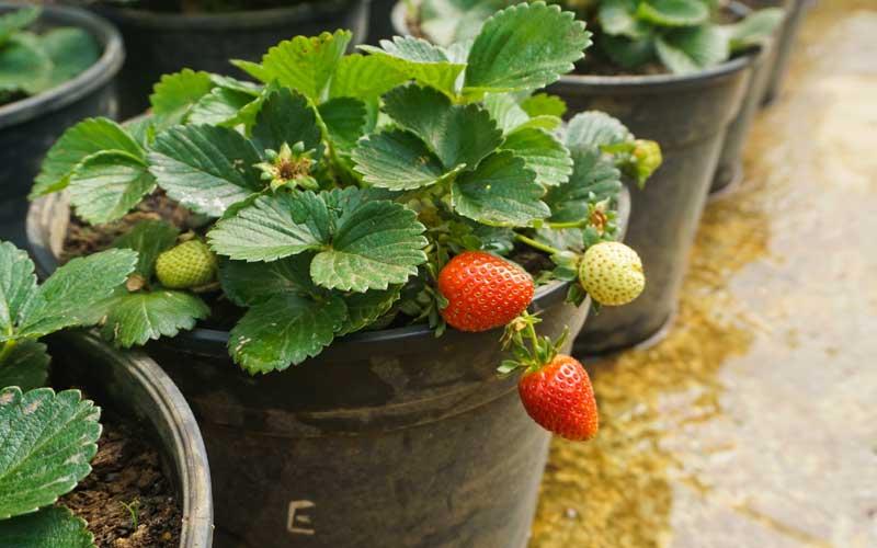 Visit Strawberry Farm Nuwara Eliya Sri Lanka