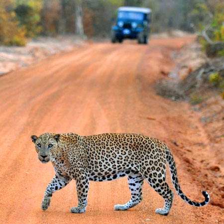 Yala Jeep Safaris | Yala Safari Game Drives | Jeep Tours in Yala Park